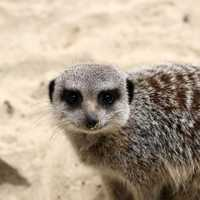 Suricate looking at you