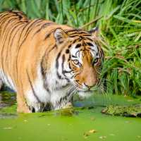 Tiger Near the shore in a pond