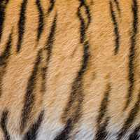 Tiger Stripes pattern and fur