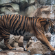 Tiger walking in habitat