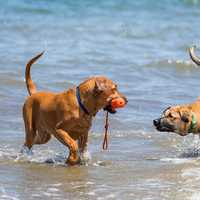Two Dogs playing in the Surf