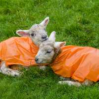 Two Ewes in Orange raincoats