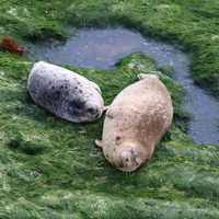 Two Harbor Seals near a puddle of water