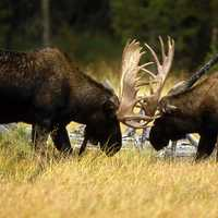 Two moose fighting
