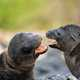 Two sea lion pups playing