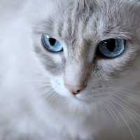 White Cat Flash with blue eyes