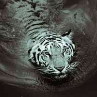 White tiger swimming in the water