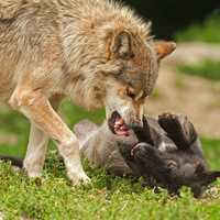 Wolf bearing his teeth at dog