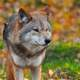 Wolf photo close-up