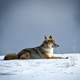 Wolf sitting in the snow