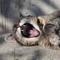 Yawning cat with sharp fangs