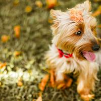 Yorkshire Terrier Doggy Pet