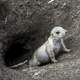 Young Prairie Dog coming out of hole