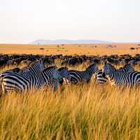 Zebras standing in the long grass