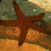 Florida Sea Star