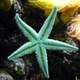 Green Starfish in the ocean