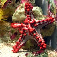 Red-knobbed starfish, a member of Valvatida