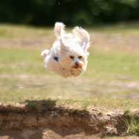 Small Dog Jumping up in the air