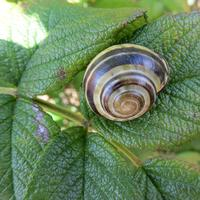 Snail on a green leaf