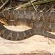 Northern Water Snake - Nerodia sipedon