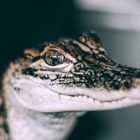 Baby Alligator Closeup macro