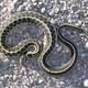 Black-Necked Garter Snake