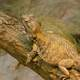 Brown Dragon Lizard on a Branch