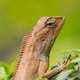 Brown Lizard Close Up