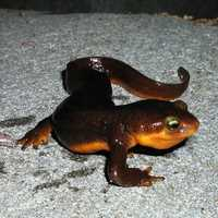 California Newt crawling