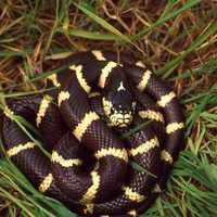 Coiled King Snake