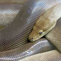 Coiled Python in reptile park
