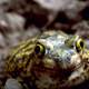 Couch's Spadefoot Toad - Scaphiopus couchii