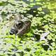 Frog through the pond weeds