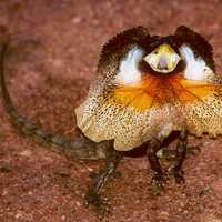 Full Frilled Lizard - Chlamydosaurus kingii