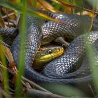 Grass snake coiled in the grass