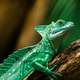 Green Lizard with Crest and Sail