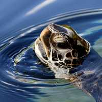 Green Sea Turtle sticking its head above water