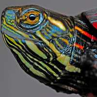 Head of the Painted Turtle - Chrysemys picta