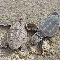 Loggerhead Sea Turtle hatchligns on the beach