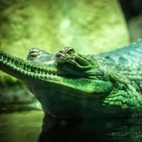 Long Snouted Gharial