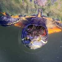 Red Eared Slider peaking out of pond