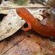 Red Spotted Newt - Notophthalmus viridescens