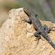 Side-botched Lizard on a rock
