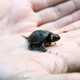 Small Bog Turtle in Palm