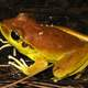 Stony creek frog -- Litoria wilcoxi
