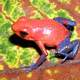 Strawberry Poison-Dart Frog - Oophaga pumilio