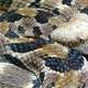 Timber Rattlesnake - Crotalus horridus