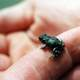 Western Toad on finger