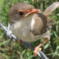 Young Superb fairywren - Malurus cyaneus
