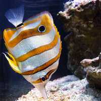 Copperband butterflyfish - Chelmon rostratus